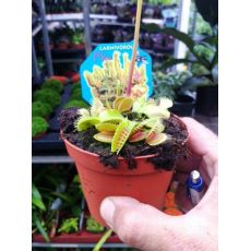 Sinekkapan Bitkisi Çiçeği İthal Dionaea Muscipula 5-10 Cm Çapı