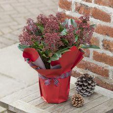 Skimmia Çiçeği Köpük Çalısı İthal Skimmia japonica
