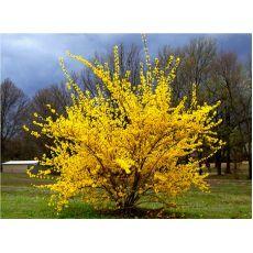 Süpürge Çalısı  İthal Sarı Çiçekli Cytisus