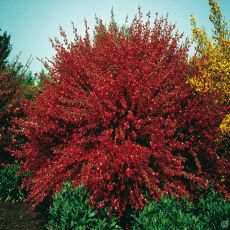 Süpürge Çalısı  İthal Kırmızı Çiçekli Cytisus