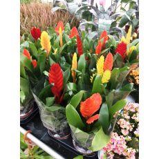 Tilandisya Çiçeği Tillandisia İthal 20-30 Cm