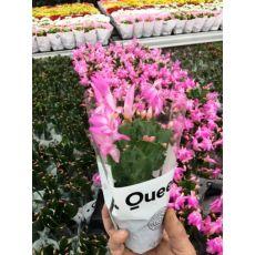 Yılbaşı Çiçeği Yılbaşı Kaktüsü Noel Çiçeği Schlumbergera 10-15 Cm