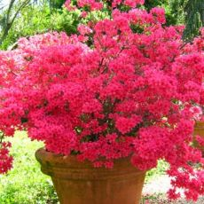 Açelya Çiçeği İthal Dış Mekan Azalea Japonica 30-35 Cm Çapı
