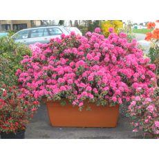 Açelya Çiçeği İthal İç Mekan Azelea Japonica 20-25 Çapı