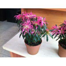 Açelya Çiçeği Katlı İthal 20 Cm