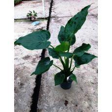Alokasya Fil Kulağı Çiçeği İthal alocasia 120-140 Cm