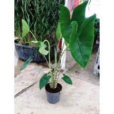 Alokasya Çiçeği İthal alocasia Zebrina 80-100 Cm