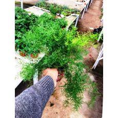 Asparagus Kuşkonmaz Bitkisi İthal 15-20 Cm