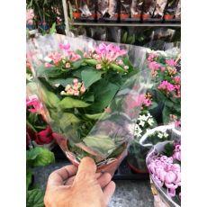 Bouvardir Çiçeği İthal 25-30 Cm
