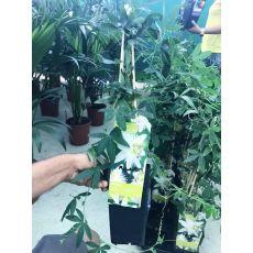 Çarkıfelek Saat Çiçeği iTHAL Beyaz Çiçekli Passiflora Caerulea 40-60 Cm