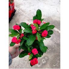 Dikenler Tacı Kırmızı Çiçekli İthal Euphorbia Milii 20 Cm Çapında