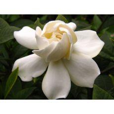 Gardenya Çiçeği İthal Gardenia 15-25 Cm Çapı