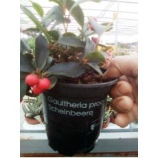 Gaultheria Procumbens Scheinbeere İthal