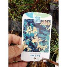 Hanımeli Sarmaşığı  Fidanı İthal Sarı Çiçekli Lonicera canadensis