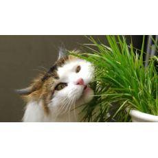 Kedi Otu Kedi Çimi İthal Kedilerin Karın Ağrısını Geçirir Cats Grass