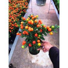 Kudüs Kirazı Çiçeği İthal Solanum Pseudocapsicum 25-35 Cm Çapı