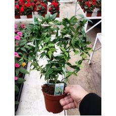 Mum Çiçeği İthal Kokulu Çiçek Verir Halde Hoya Carnosa