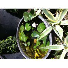 Kampanya 3 Adet Nilüfer Çiçeği ithal Su Bitkisi Bardakta