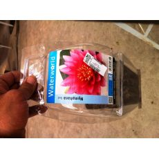 Nilüfer Çiçeği ithal Su Bitkisi