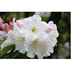 Orman Gülü Beyaz İçekli İthal Rhododendron