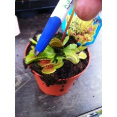 Sinekkapan Bitkisi Etobur İthal Dionaea Muscipula 5-10 Cm Çapı