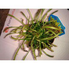 Sinekkapan Bitkisi Çiçeği İthal Boğmalı 5-10 Cm Çapı