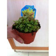 Sinekkapan Bitkisi Çiçeği İthal Sıkıştırmalı 5-10 Cm Çapı