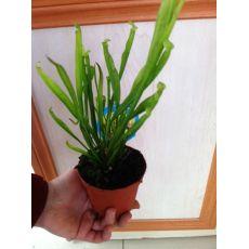 Sinekkapan Bitkisi Çiçeği İthal Torbalı 15-20 Cm