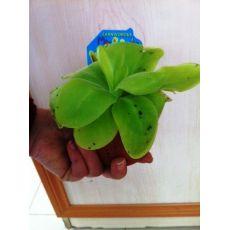 Sinekkapan Bitkisi Çiçeği İthal Yapışkanlı 10-15 Cm Çapı