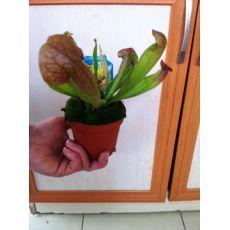 Sinekkapan Bitkisi Çiçeği İthal Kapaklı 5-10 Cm Çapı