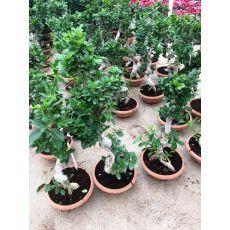 Ficus  Bonzai Bonsai İthal 30-40 Cm