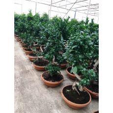 Ficus Bonzai Bonsai İthal 50-60 Cm