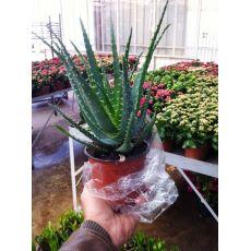 Aloe Vera Çiçeği Bitkisi İthal Tırtıklı Yaprak 25-35 Cm