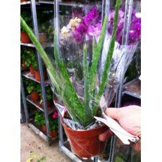 Aloe Vera Çiçeği Bitkisi İthal 25-35 Cm
