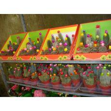 Kaktüs Aşısız Cactus Succulent 5-10 Cm