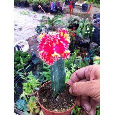 Kaktüs Aşılı Kırmızı Çiçekli Cactus Succulent