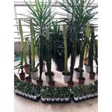 Kaktüs İthal Cactus 150-175 Cm