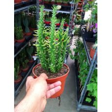 Kaktüs Mexika İthal Cactus