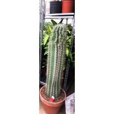 Kaktüs İthal Cactus 100 Cm