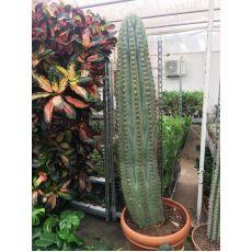 Kaktüs İthal Cactus 175 Cm