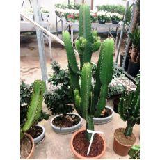 Kaktüs İthal Cactus 80 Cm