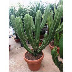 Kaktüs İthal Cactus 135 Cm