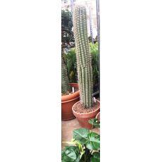 Kaktüs İthal Cactus 145 Cm