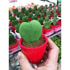 Sevgili Çiçeği Kalp Şekilli Bitki hoya kerri İthal