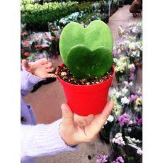 Sevgili Çiçeği Çift Kalp Şekilli Bitki hoya kerri İthal