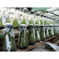 Şeftali Nektarin Badem Fidanı Yarı Bodur Gf  677 Anacı Doku Kültürü Üretimidir 5-8 Cm