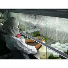 Kiraz Fidanı Yarı Bodur Anacı Maxima 14 Doku Kültürü Üretimidir 5-8 Cm