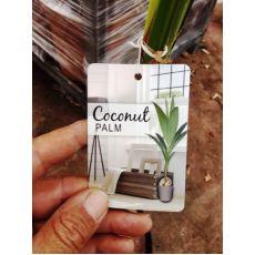 Kokonat Palmiye Coconat Palm 100-120 Cm
