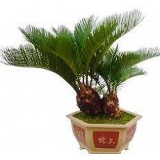 Sikas Cycas Revoluta 100-110 Cm Yapraklı Boyu