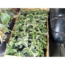 Fittonya Bitkisi İthal Fittonia Phyllostachya